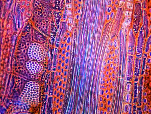 A close up of beech wood reveals parallel fibres  DR KEITH WHEELER/SCIENCE PHOTO LIBRARY